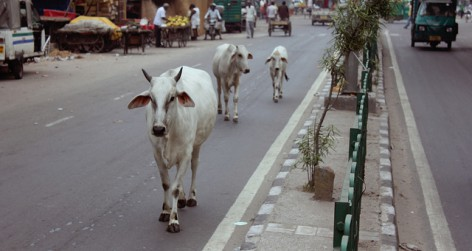 Cows in India