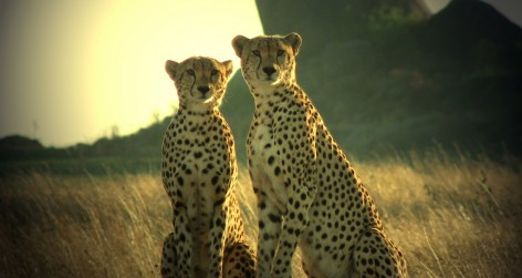 Cheetahs in Tanzania (Photo by Ward Graham under a Creative Commons License)